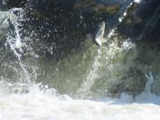 Kuldīgā lec zivis